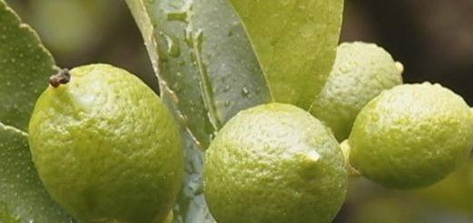 Agumes, Greening