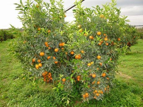 clementinier.jpg