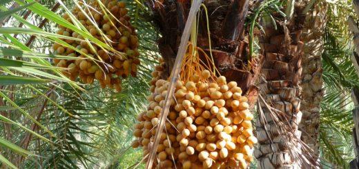 dattes, palmier dattier