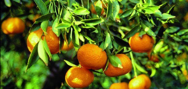 Agrumes, Turquie, Mandarine, citron