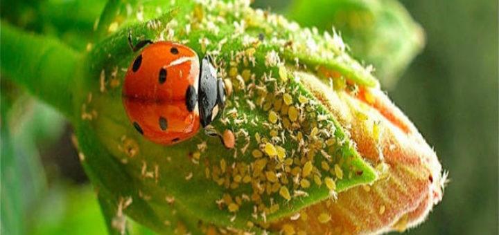 myzus-persicae-ladybug.jpg