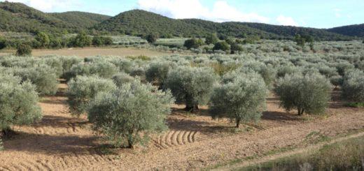 olivier, oliveraie