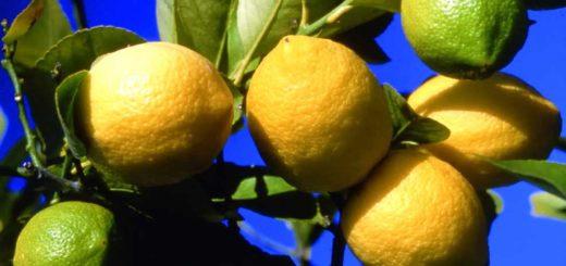 Citron, Agrumes, Turquie