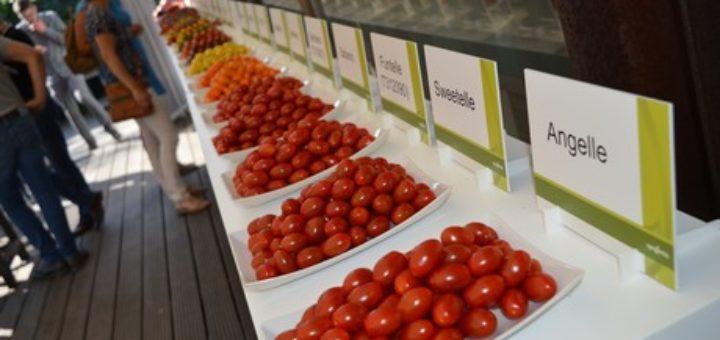 Tomate, Syngenta, Semences, Variété, Hollande,
