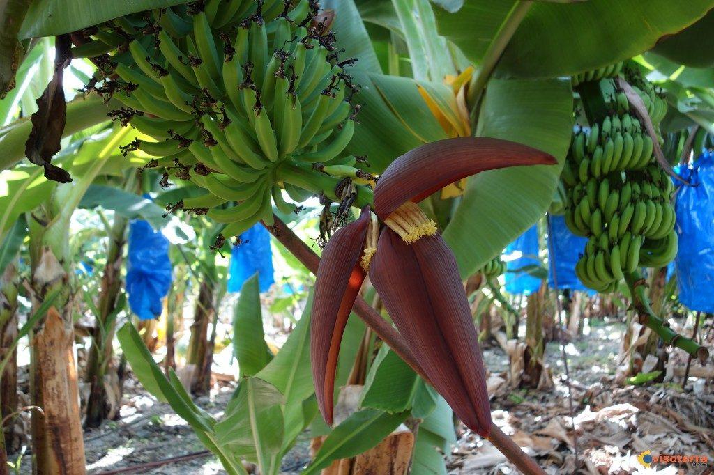 Iles Canaries, Maroc, Banane, Accord, Douanes
