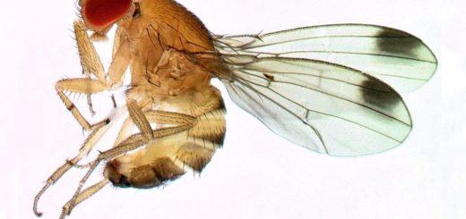 Recherches,  Drosophila suzukii, mouche des fruits, traitement v