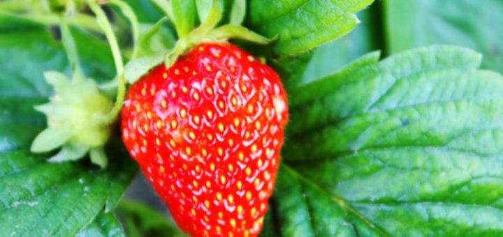 Maroc, Fraise, fruits rouges, Andalousie, Superficie, Production