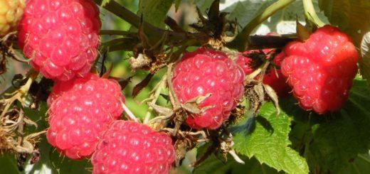 AOC, Fruits rouges, Maroc, Loukkos, EACCE