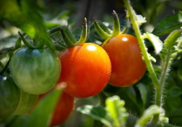 Tomate, BASF,Souss, Conditions climatiques, Traitement, Maladie, Poivron