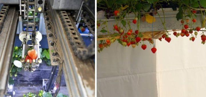 récole, fraise, robot, machine, Belgique, Japon