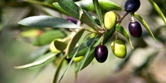 """Résultat de recherche d'images pour """"images olives vertes et noires"""""""