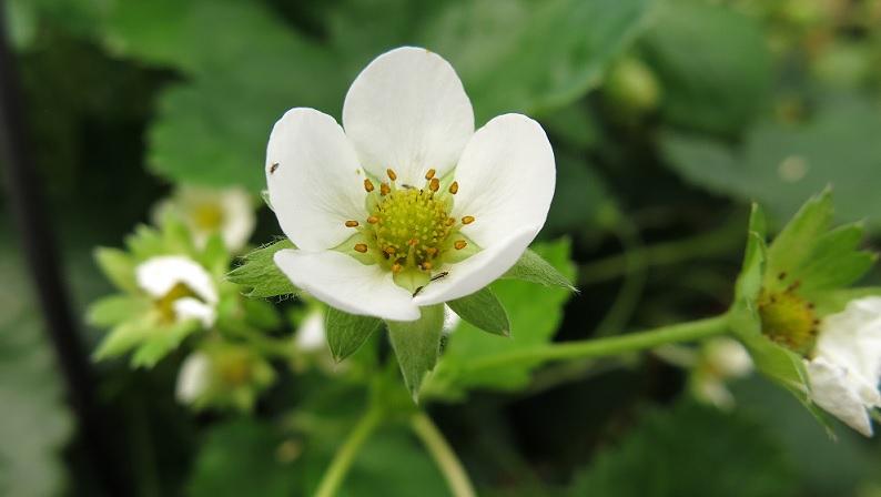 Fleur Fraisier Hortitecnews