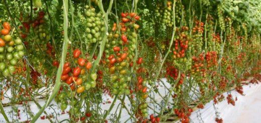 Tomate Syngenta